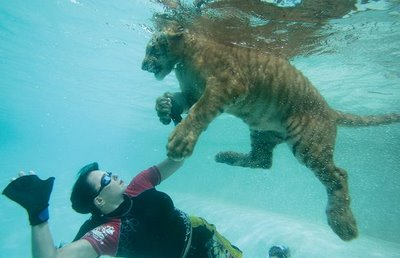 Swimming_with_Tigers_09