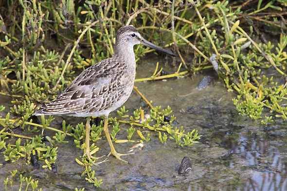 200_Short-billedDowitcher_sm