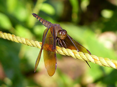 A Moment to Rest (SivamDesign) Tags: fauna female lumix backyard dragonfly panasonic fulvousforestskimmer neurothemisfulvia fz8 dmcfz8 winnerbc