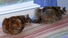 Synchronized Sleeping (Glenn Harris (Clintriter)) Tags: blue stella sleeping pets cute window sisters cat bed tortoiseshell together curtains tortie maxine synchronized velvetpaws catmoments catnipaddicts