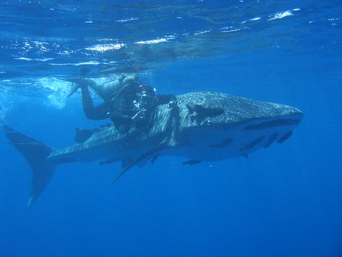Whale Shark - Fernando de Noronha, Brazil