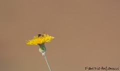 Busy (Fabrizio Antonucci) Tags: flower canon dof bee busy giallo ape fiore petali occupata 70200f4lusm indaffarata
