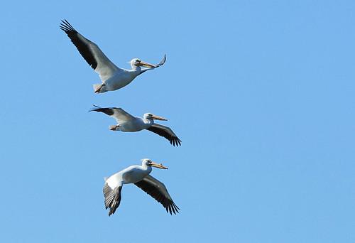 joe pelican2