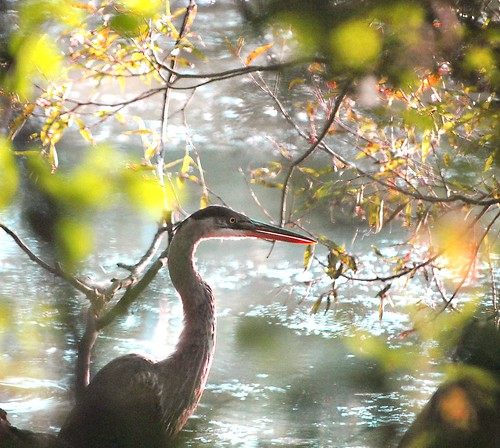 GBH caught hiding behind the Willows.