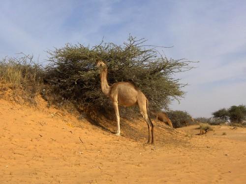 Camelo na Mauritânia