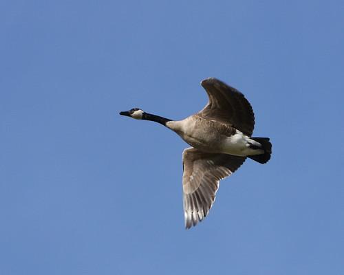 Canada Goose - #3