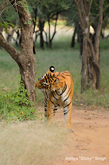 ADS_000005803 (dickysingh) Tags: wild india animal mammal outdoor wildlife tiger bigcat aditya predator ranthambore singh ranthambhore dicky flehmen scentmarking adityasingh ranthamborebagh theranthambhorebagh wwwranthambhorecom