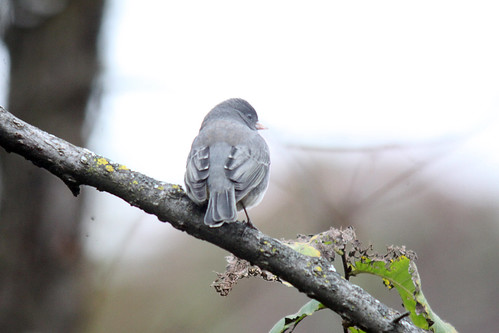 Dark-eyed Junco (Digiscoped)