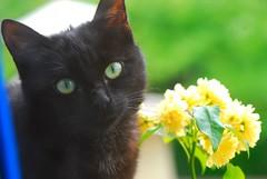 Blacky; the cat and yellow rose (natureloving) Tags: blue black colour macro green nature rose yellow cat blackcat nikon chat dof yellowrose blacky lechatnoir d40x natureloving flowerandcat flowerandanimal