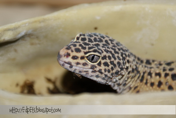 01_Leopard gecko 2009