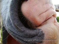 DSC08904 (Sergio Arajo Baldivieso) Tags: uruguay campo costumbres gauchos tradicin patrimonio jinetes criollas jineteadas