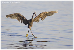 Dancing on the Sea Surface -     (Ahmed K) Tags: sea bird heron nature birds canon bahrain wildlife western reef