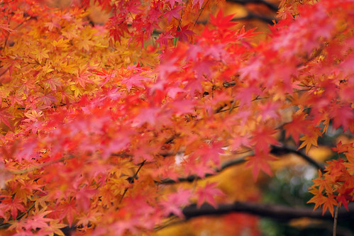 Gyosen Park Autumn Leaves 03