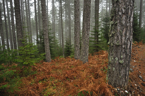 Pinus nigra forest in Grevena (Greece)