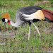 Black Crowned crane.