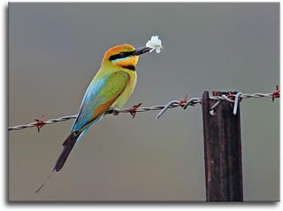 Rainbow Bee-eater 2