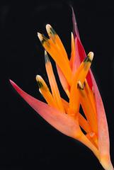 Heliconia psittacorum (chris.diewald) Tags: brazil orange macro closeup brasil heliconia onblack heliconiapsittacorum
