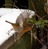 (tad2106 - Trudie Davidson Photography) Tags: winter snow festive robinredbreast gardenbirds britishbirds robim christmasimage