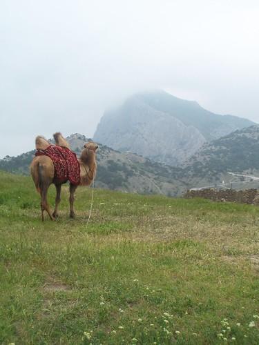 Camello en la fortaleza de Sudak