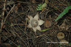 Earth Star (KashiftheGipsy) Tags: pakistan macro tree nature mushroom pine forest trekking trek wildlife jungle valley fields himalaya nwfp gali earthstar valleys nathiagali khanaspur galliyat kashifthegipsy