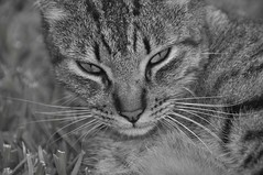 CAT (Elias Arcos Photo) Tags: blackandwhite blancoynegro cat eyes bigotes moustache occhi ojos gato katze augen gatto biancoenero messico schnurrbart baffi schwarzundweiss blancheetnoir