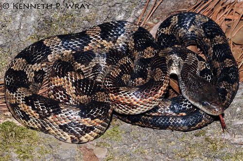 SAReptiles • View topic - Value of Texas rat snake