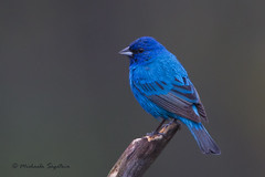 _53F4793Indigo Bunting in the mist (~ Michaela Sagatova ~) Tags: male bird rain ngc dundas highiso indigobunting passerinacyanea birdphotography naturebird dvca michaelasagatova