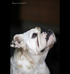 veja adiante... (Adriana Casellato) Tags: dog pet cute co animal 50mm bulldog 50mm14 perro cachorro anita animais perrito estimao foco domstico animaisdeestimao bulldogingles adrianacasellato ldlportraits