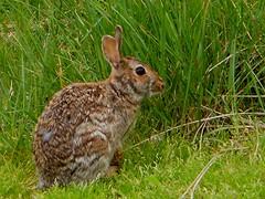 Rabbit (Maureclaire) Tags: rabbit bunny animal ma konijn capecod conejo wildanimal hyannis lapin kaninchen conil coniglio kani  tavan cottontail cwningen  garenne kanin  krlik cottontailrabbit wildrabbit leporidae kanna nyl sylvilagus  iepure kuneho krlk  kelinci   coinn dunbarpoint