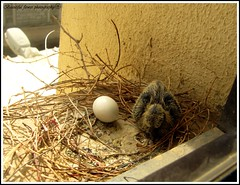 Started a new life (Beautiful flower*) Tags: life street new wood light white flower beautiful nest dove chick eggs started hatching   feathering