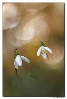 Perce-Neige - Galanthus Nivalis #2