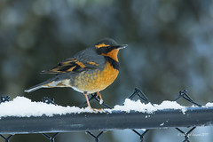 Happy Fence Friday (HFF)- Varied Thrush Style (Chantal Jacques Photography) Tags: hff happyfencefriday variedthrush bokeh depthoffield wildandfree backyardbird