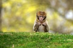 little monkey is picking some seeds - Barbary Macaque - Berberaffe (okrakaro) Tags: little monkey baby picking seeds barbarymacaque animal kleiner affe pickt samen berberaffen affenbaby natur zoo rheine märz 2014 bokeh portrait