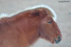 Icelandic Horse (Midlands Reptiles & British Wildlife Diaries) Tags: iceland icelandic horse 7dmkii 100400 winter cold nomad fauna forest ecology david nixon portrait horses season head shot