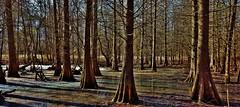 Annapolis Cypress Swamp (matthewbeziat) Tags: quietwaterspark quietwaters annapolis annearundelcounty cypress cypressswamps cypressswamp marylandswamps americanswamps americanwetlands marylandwetlands wetlandsscene maryland