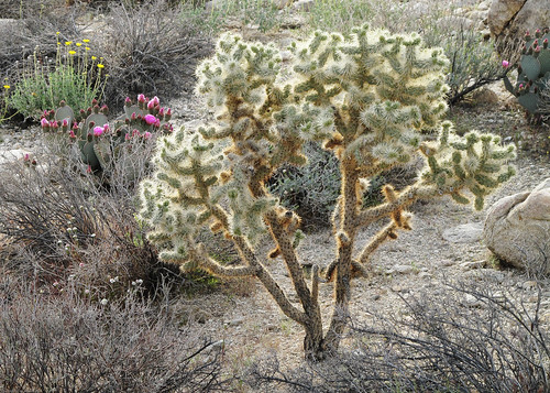 Silver Cholla by you.