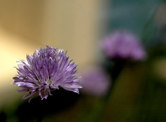 Chives070209
