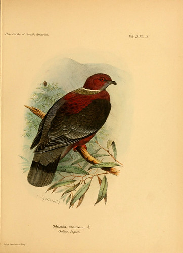015- Paloma Araucana-The birds of South America 1912