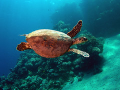 red sea Turtles (Abdullah Samman) Tags: fish underwater redsea scubadiving coralreef underwatercamera marinelife underwaterphotography           redseaturtle  abdullahsamman