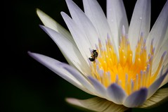 Mr. bee (domoXsam) Tags: flowers white yellow hongkong lotus bee saikung waterlilys