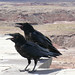 Ravens keep their mouths open to help cool down in the heat