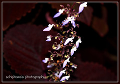 Flowers really do intoxicate me ( S H I F F ) Tags: travel flowers vacation plants white holiday plant blur flower macro green nature leaves closeup leaf flora focus flickr purple bokeh violet mini explore tiny micro maldives 2009 shif canon450d schiphaxa shifaza schiphaxasphotography