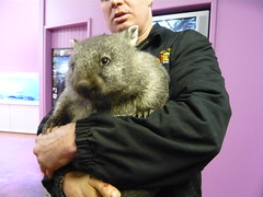 Super cute Wombat