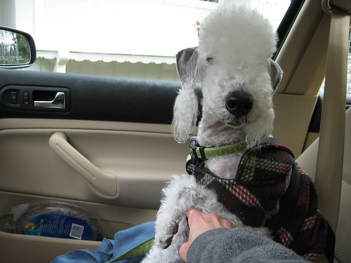 Pascal after a walk- in the car ready to go home-