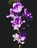 Lavender Flower (tudedude) Tags: uk flower garden lavender dorset herb oils gbr nicesmell gardenflower tudedude