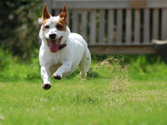Kicking Up The Grass (JRT ) Tags: wood trees dog sun hot grass bench fur jack nose happy flying eyes nikon jrt russell bokeh sunny ears terrier sit belle tounge worcestershire paws jackrussellterrier lickeyhills d40 brownhead kickingupthegrass johnwarwood flickrjrt