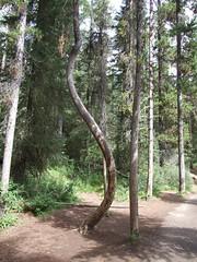 A Twisty Tree! (The Knipes) Tags: canada alberta banffnationalpark johnstoncanyon