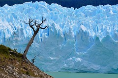 still life (miguelyn..) Tags: patagonia tree argentina bravo glacier peritomoreno platinumphoto colorphotoaward infinestyle theunforgettablepictures platinumheartaward miguelyn artofimages saariysqualitypictures daarklands bestcapturesaoi magicunicornverybest magicunicornmasterpiece elitegalleryaoi ringexcellence dblringexcellence tplringexcellence eltringexcellence