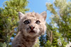 Baby Bobcat from very low POV