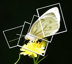 Butterfly snapshots (Luuk van Bommel) Tags: white macro collage butterfly snapshots van wit bommel vlinder fragments luuk fragmenten